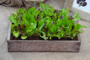 salad leaves in a wooden tray