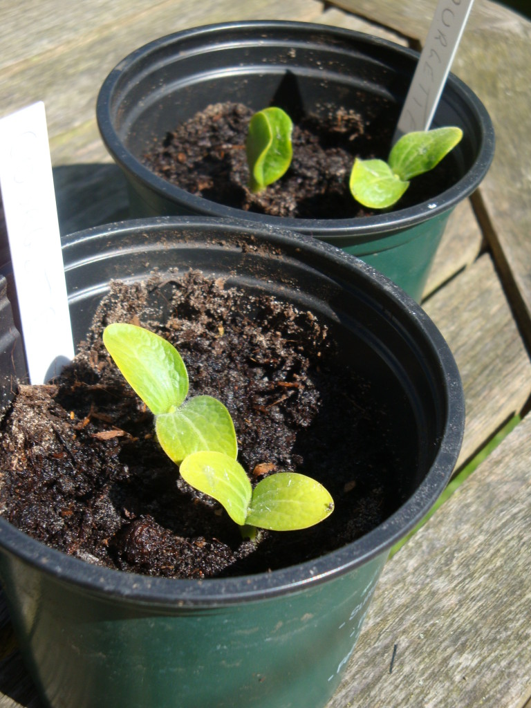 courgette seedlings