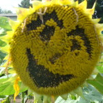 sunflower face