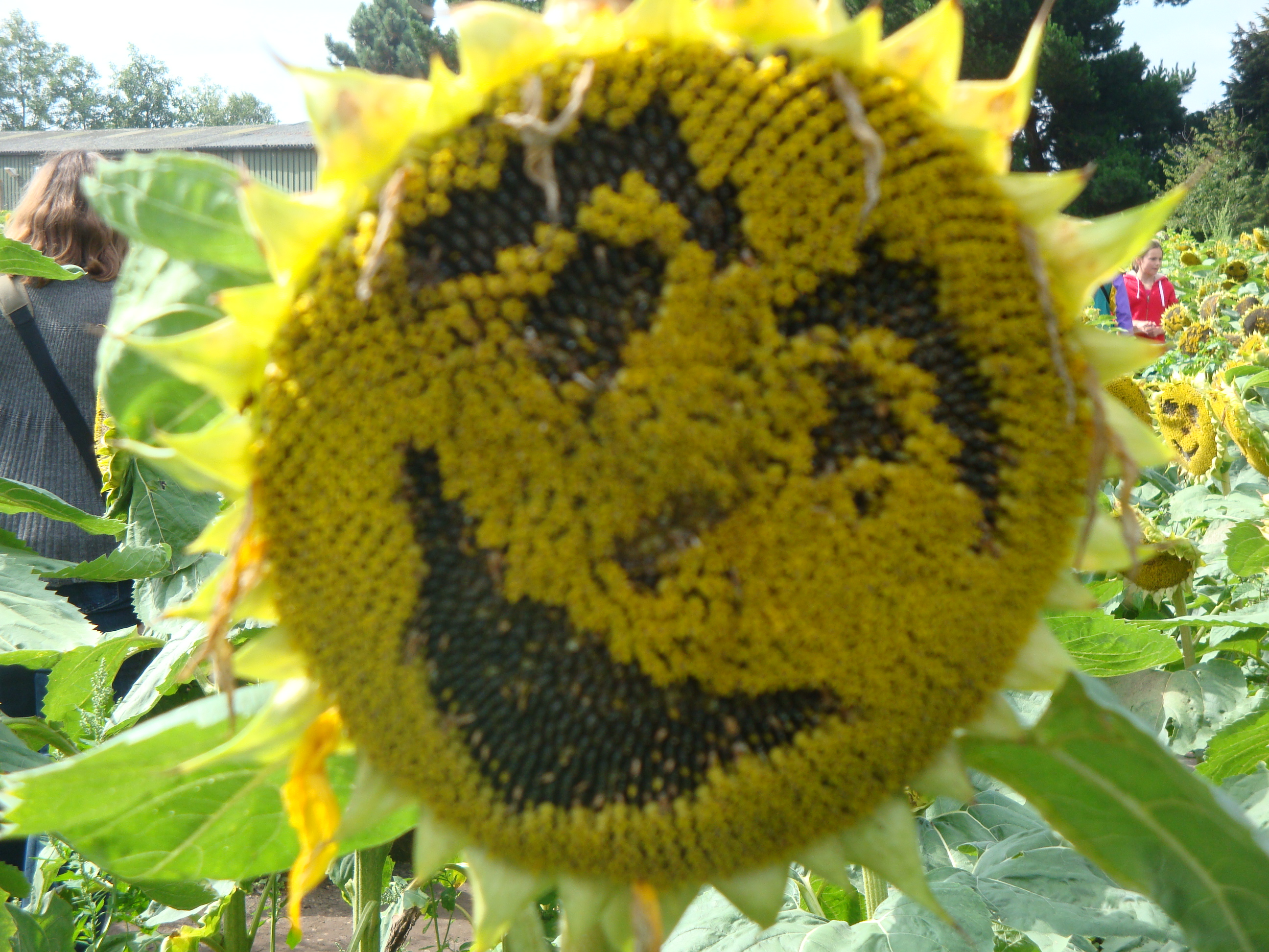 How many minutes should the sunflower be roasted And how CORRECT to roast seeds
