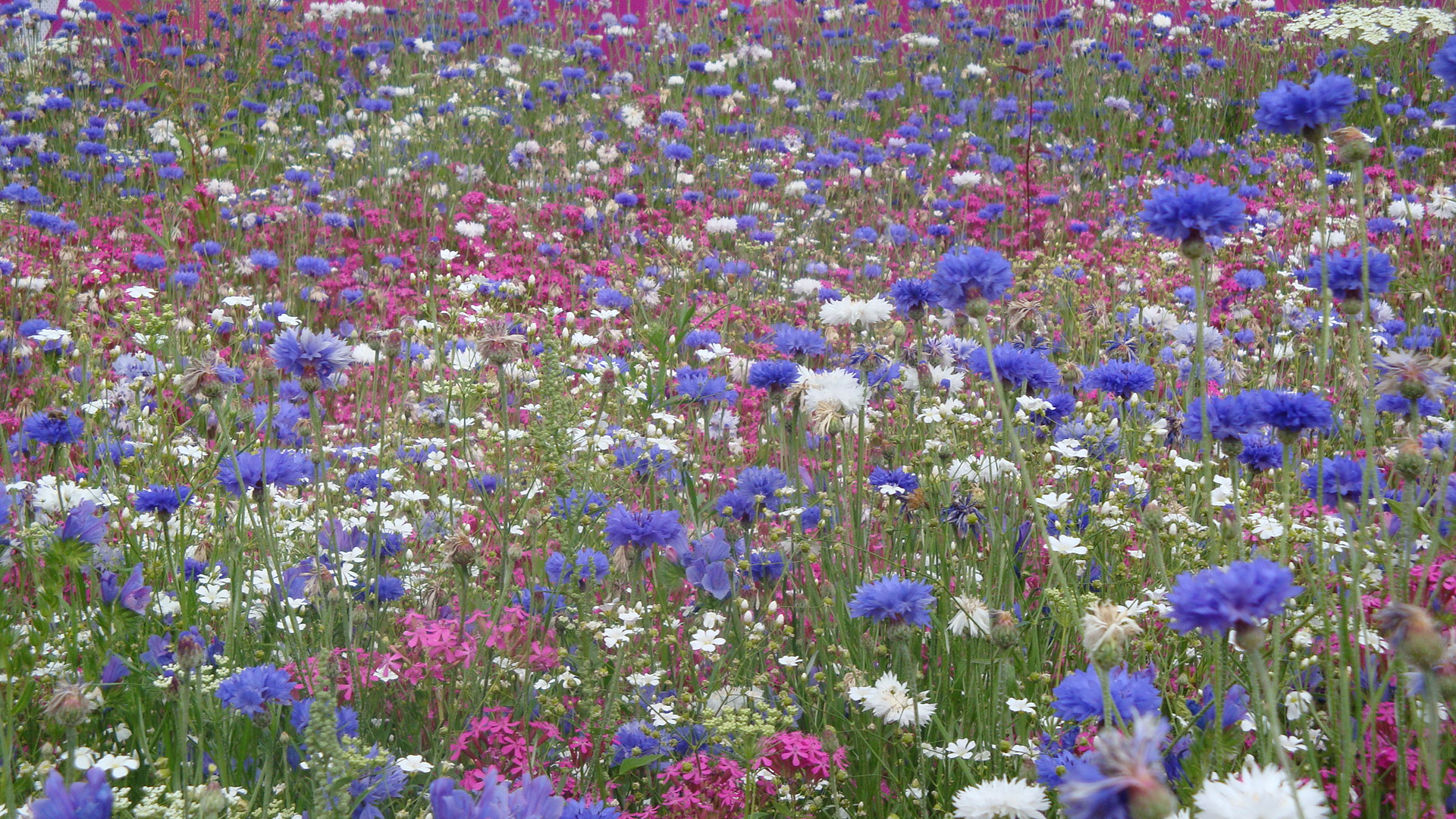 Wildflowers Olympic Park