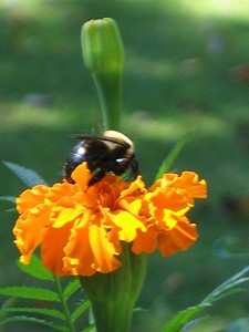 Bee on Calendula, bee friendly flower