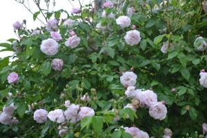 pink perpetue rose