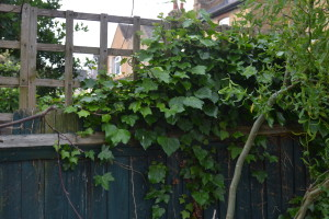 Ivy over fence