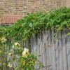virginia creeper over fence