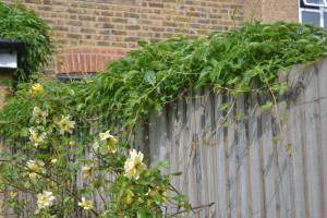 virginia creeper over fence