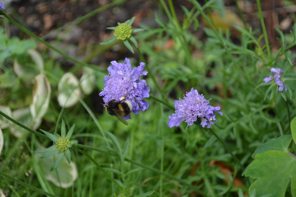 Scabious with bee