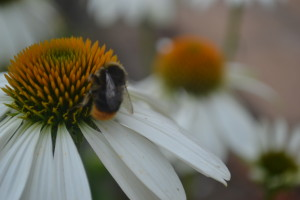 Echinacea with bee
