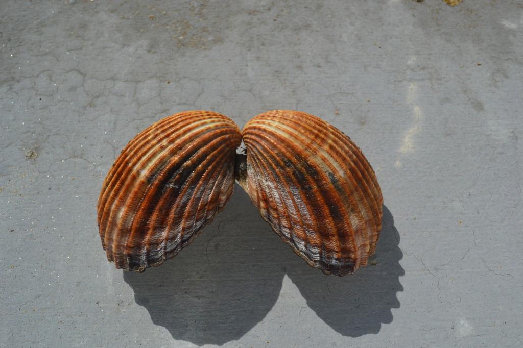 Venus Clam Shell