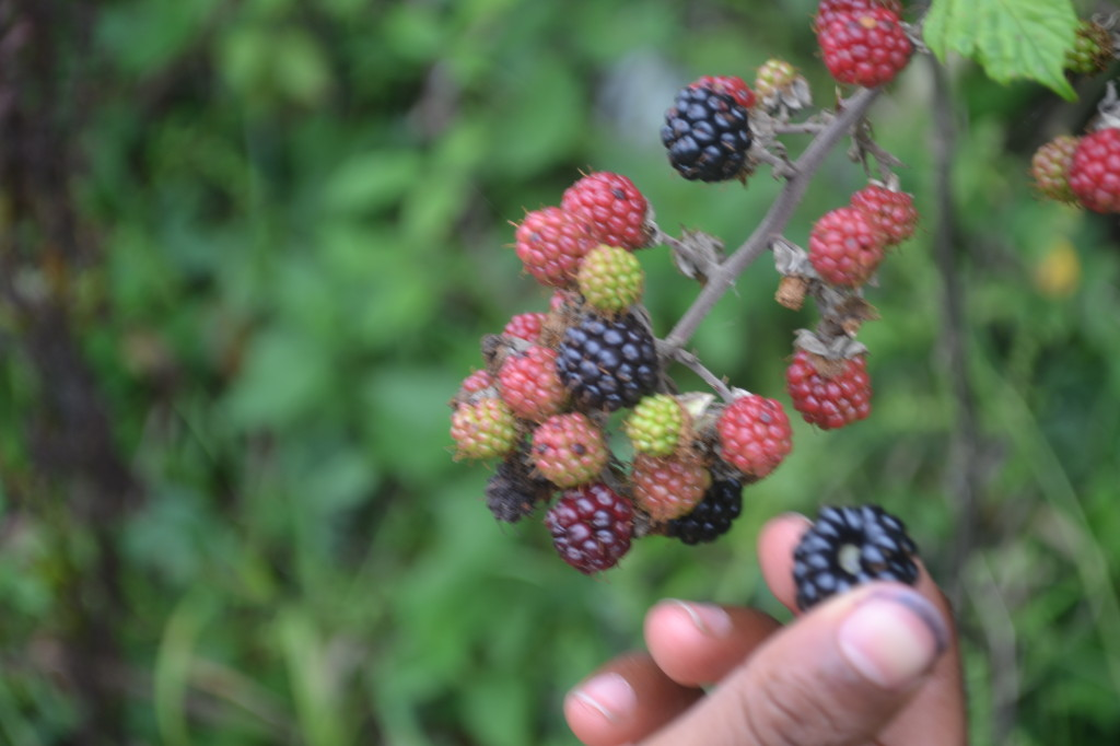 Picking Blackberries with kids