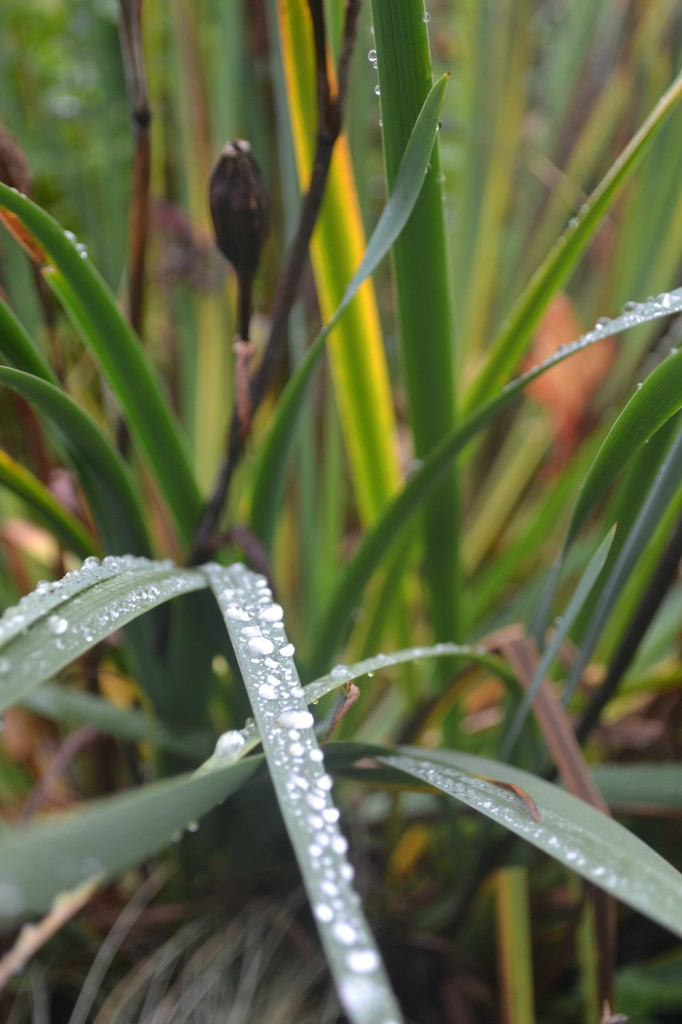 raindrops on day lilies