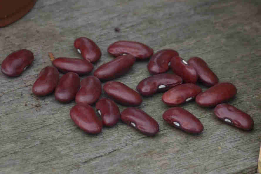 green bean seeds