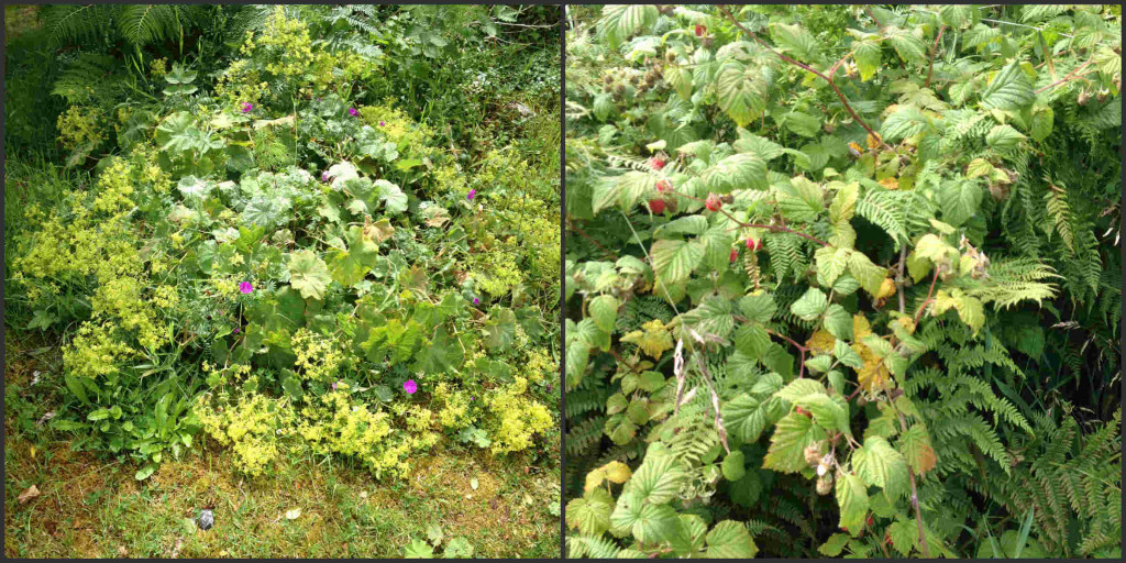 lady'smantle&raspberries