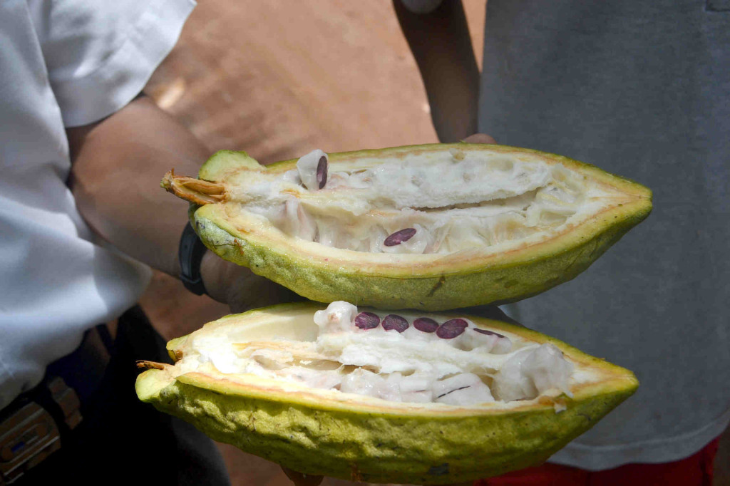 cocoa pod with cocoa bean