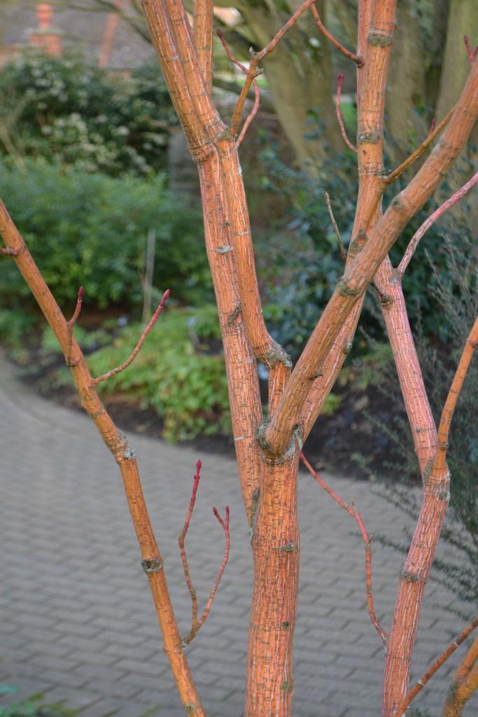 Acer Pensylvanicum 'Erythroladum'