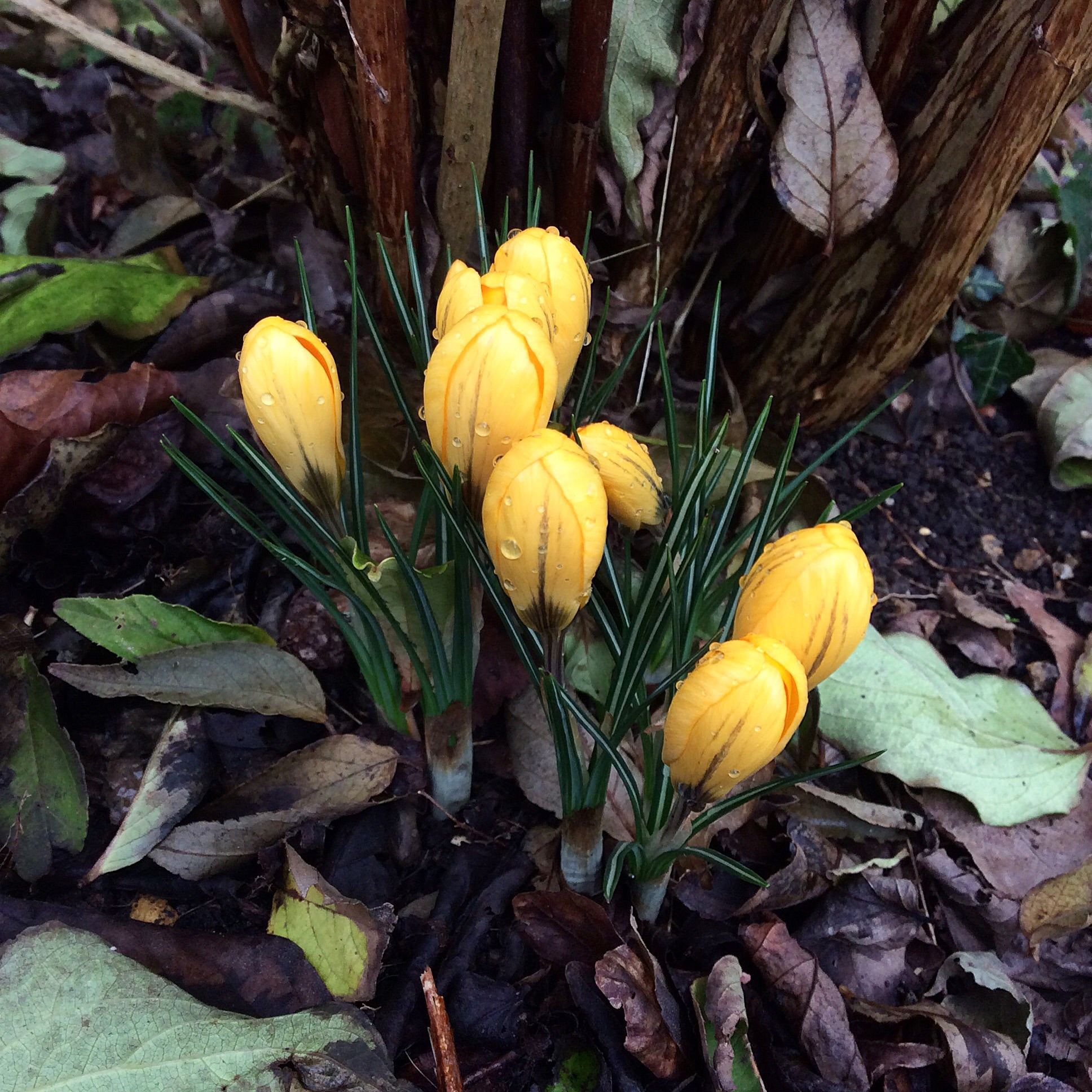 Winter Garden Ideas Uk Part - 29: These Yellow Crocuses Are Brightening Up A Dark Part Of The Garden At The  Bottom Of A Deciduous Shrub.