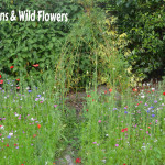willow dens & wildflowers