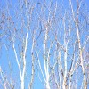 silver birch against a winters sky